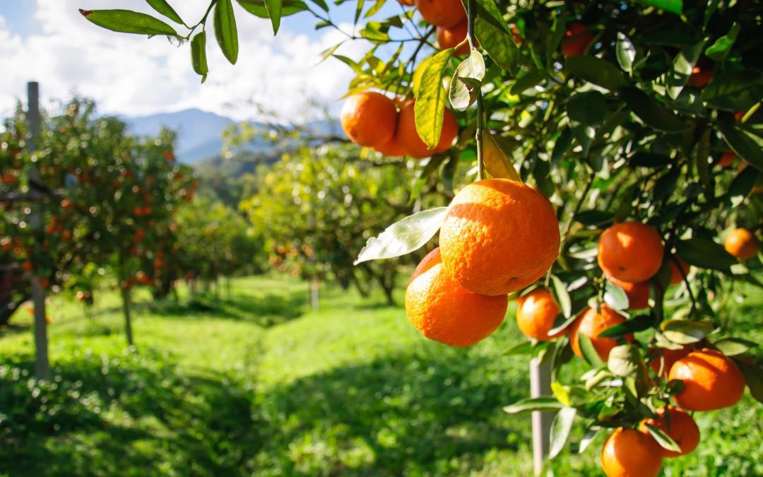 orange-tree-e1399482952318